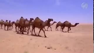 منقية الامير سلمان بن سلطان ال سعود |قناة الصحراء الفضائية