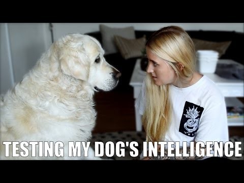 Testing my dog's Intelligence (Golden Retriever)