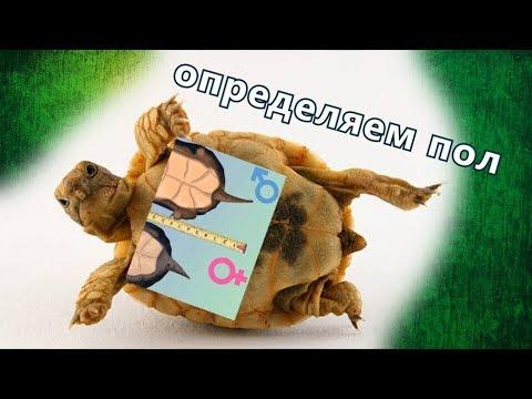 Как отличить пол у среднеазиатских черепах?