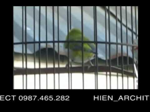 Chim vành khuyên, khuyên mơ, hoàng khuyên, khuyen liu cua HIEN ARCHITECT