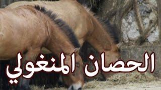 الحيوانات - الحصان المنغولي