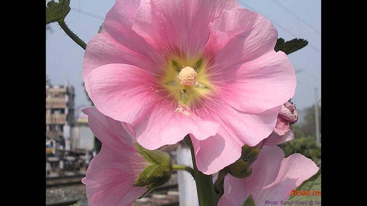 мальва фото шток-роза