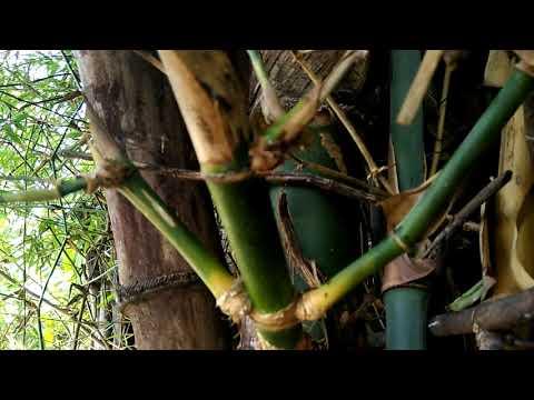 Bambu Patel Lele, Bambu Bertuah  Pemikat wanita