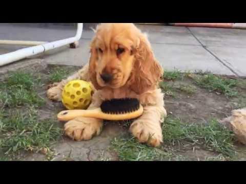 George Smiley (Kristof) - English Cocker Spaniel Puppy