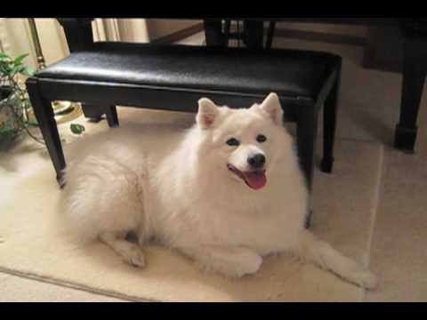 'Happy Birthday' by Sadie the Singing Samoyed