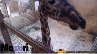 Animal Adventure Park Giraffe Cam(April the Giraffe is expecting a calf! Follow the process as she and her mate, Oliver, welcome a new baby. Animal Adventure Park Harpursville, NY www., 2017-02-25T03:32:09.000Z)