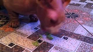 Кот  породы бамбино есть огурцы