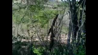 Foxhound Americano Vs Beagle - Caçada De Raposa - Fox Hunting With Dogs..mp4