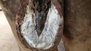 Maggots in horse hoof 3