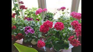 Самое простое удобрение для пышного цветения пеларгоний