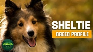 Sheltie Dogs 101 | Once a Scottish Farmer's Best Friend, Now a WorldClass Canine Competitor