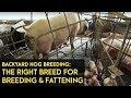 Gambar cover Backyard Hog Breeding: Using the right breeds for breeding, fattening   Agribusiness B-MEG Episode 7