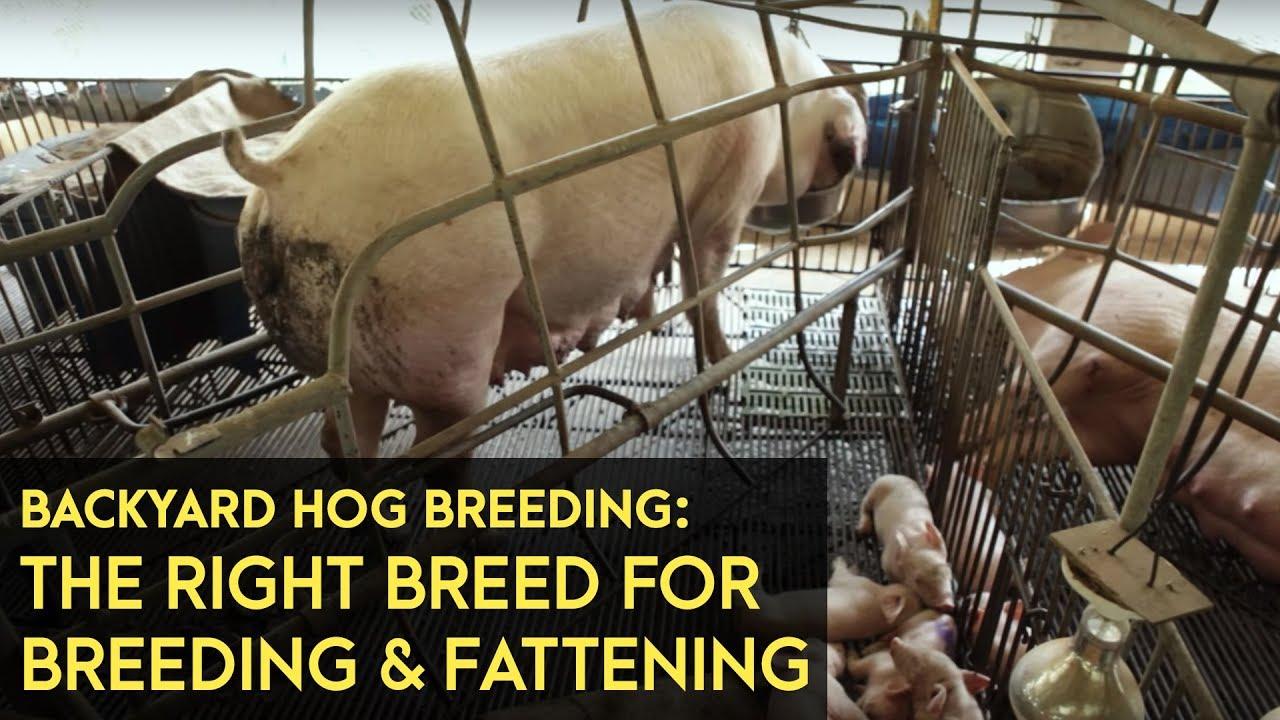 Backyard Hog Breeding: Using the right breeds for breeding ...
