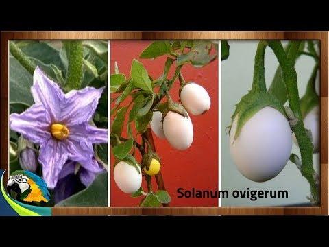 (( Solanum ovigerum ))  popularmente conhecida como planta ovo !!