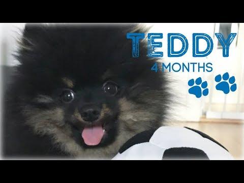 Teddy The Kleinspitz - 4 months