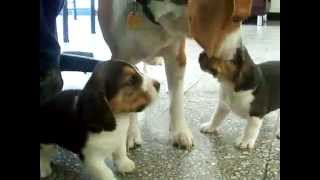 Dog Mom Ends Beagle Puppies Fight