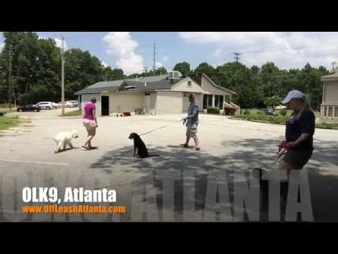 Off Leash Responsive with Heavy Dog Distractions   Labradoodle   Atlanta Dog Trainers