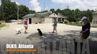 Off Leash Responsive With Heavy Dog Distractions | Labradoodle | Atlanta Dog Trainers