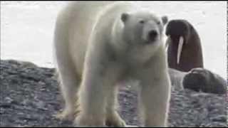 Spännande film från Arktis: Isbjörn möter valross