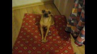Русский той терьер играет, смешное видео про собак, той терьер и косточка