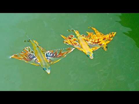 Found Colorful Baby FLYING FISH While Inshore Fishing