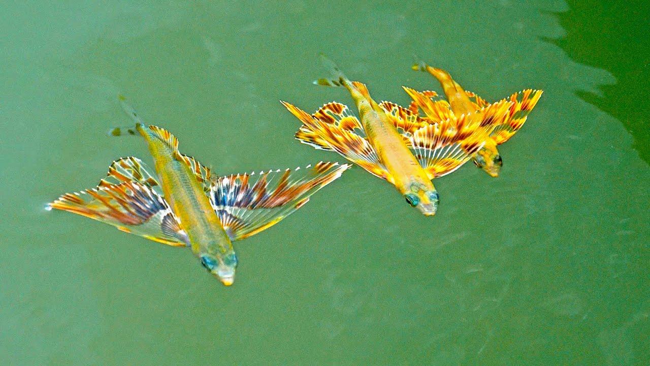 Flying Fish Babies