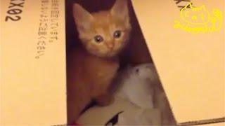 茶トラ子猫拾った日の夜 気配に気づきッ!こっち見た! Tabby Stray Cat's First night home thumbnail