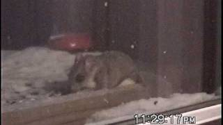 Flying Squirrel Eating At The Bird Feeder.