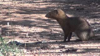 Slender mongoose kills black mamba - FULL VIDEO
