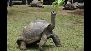 Смешные, гигантские галапагосские черепахи СМЕШНОЕ видео