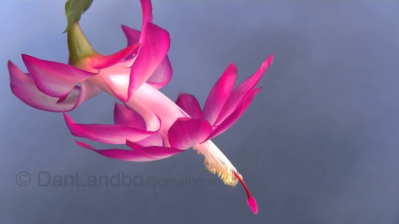 Christmas Cactus Flower Bloom in Time-Lapse - YouTube