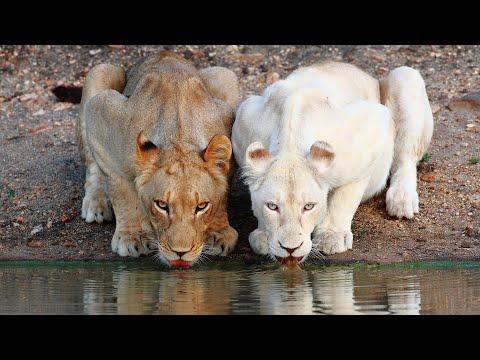 ЧУДЕСА МЕЛАНИЗМА: Альбинизм, меланизм, кстантизм, лейкизм и прочие мутации окраса у животных