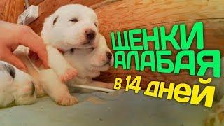Щенки Алабая в 14 дней // Среднеазиатская овчарка // Жизнь в деревне