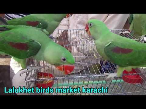 ringneck and raw parrots price in Karachi Pakistan olx karachi birds