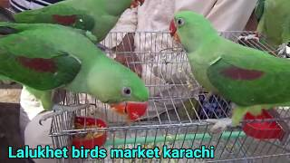 ringneck parrots breeding and caring tips by shakeel bhai