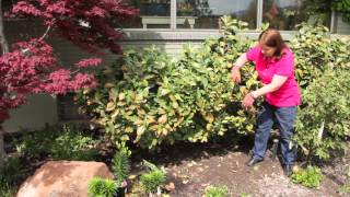 How to Prune Bushes After Cold Weather : Grow Guru