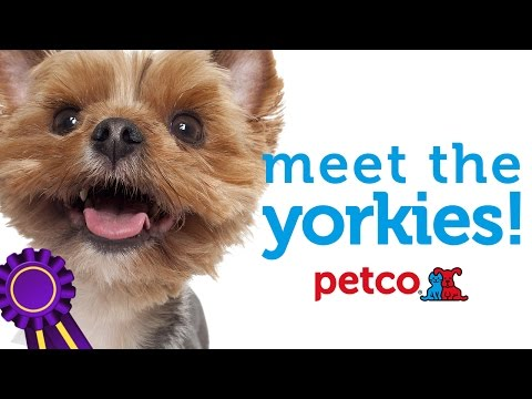 yorkshire-terrier-dog-breed---westminster-2015-(petco)