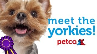Yorkshire Terrier Dog Breed - Westminster 2015 (petco)