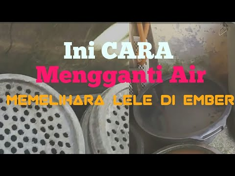 Mengganti air ikan lele di ember cat - YouTube