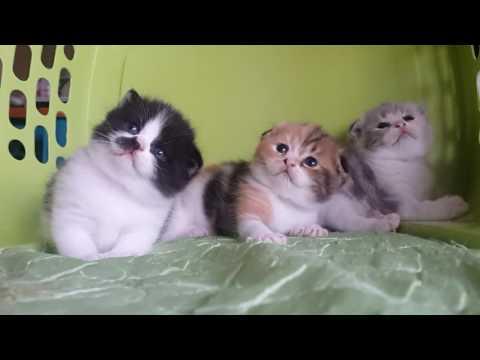 สงสัยอะไรกัน#Scottish fold#Manekineko Cattery#Cats#Cute