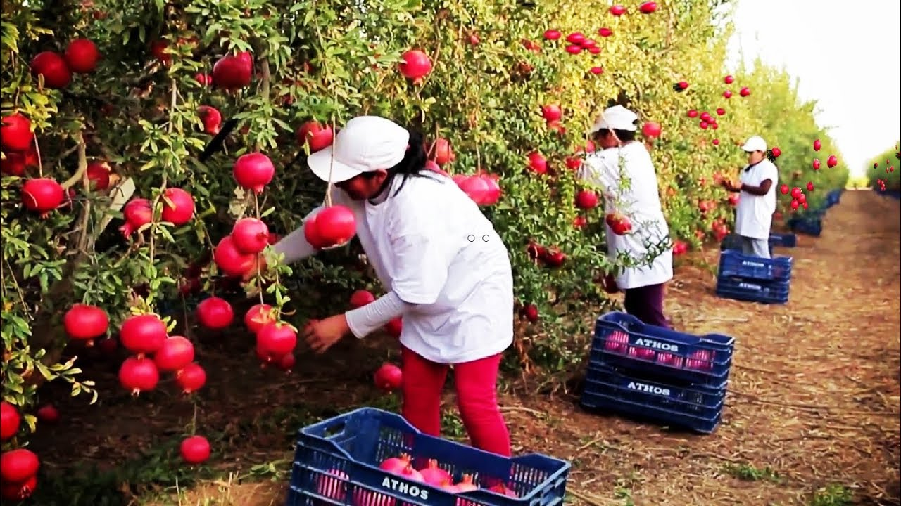 Download Awesome Agriculture Technology: Pomegranate Cultivation - Pomegranate Farm and Harvest