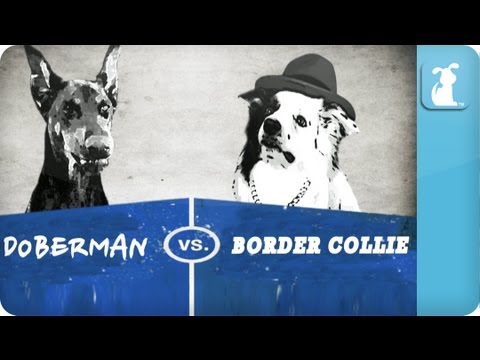 Pet vs. Pet Rap Battles: Doberman vs. Collie