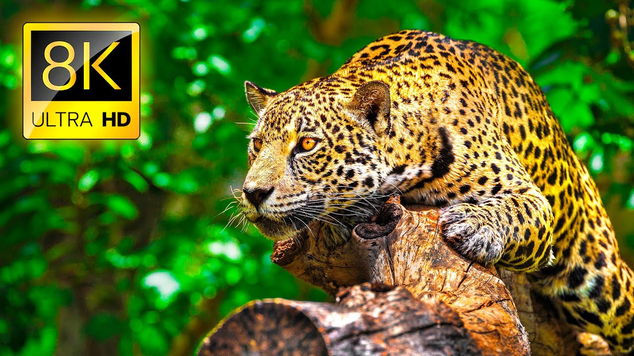 Download Ultimate Wild Animals Collection in 8K ULTRA HD / 8K TV