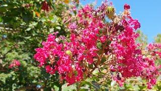 배롱나무-이 꽃을 차로 마시면 혈액순환이 좋아지고, 잠…