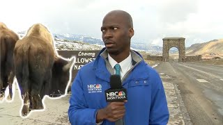 WITNESSING THE GREATEST REACTION OF A REPORTER EVER WHEN A HERD OF BISON APPEARING OUT OF NOWHERE
