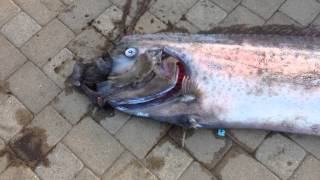 18-foot oarfish found off Catalina Island