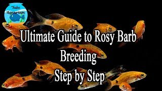c04188b6bf02 Ultimate Guide to Breed Rosy Barbs in Home ...