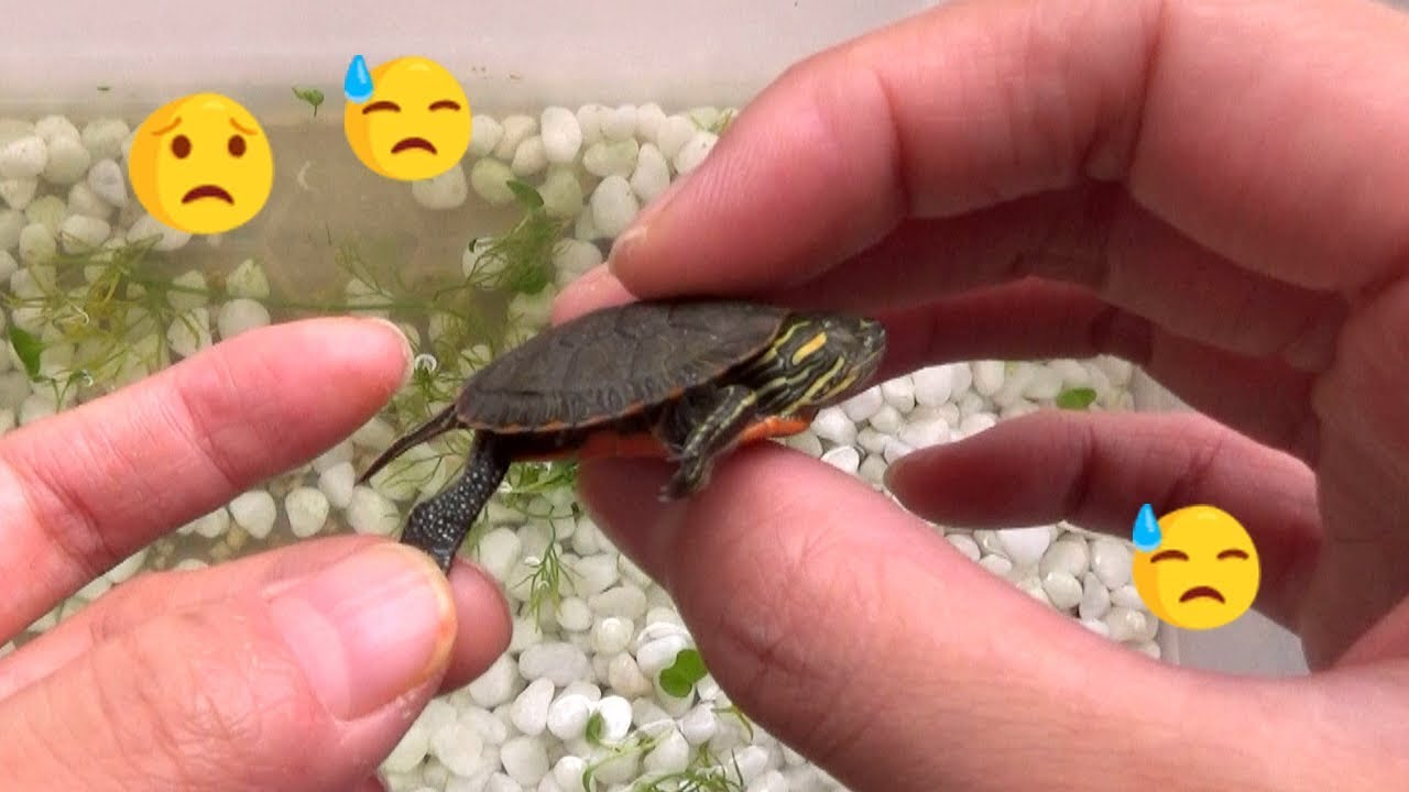 Is my baby turtle dead or hibernating or in a coma ...