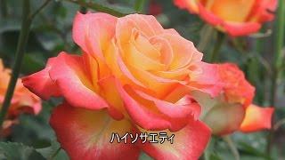 長崎市のあぐりの丘にはバラハウスが有りいろんな種類のバラが育てられ...