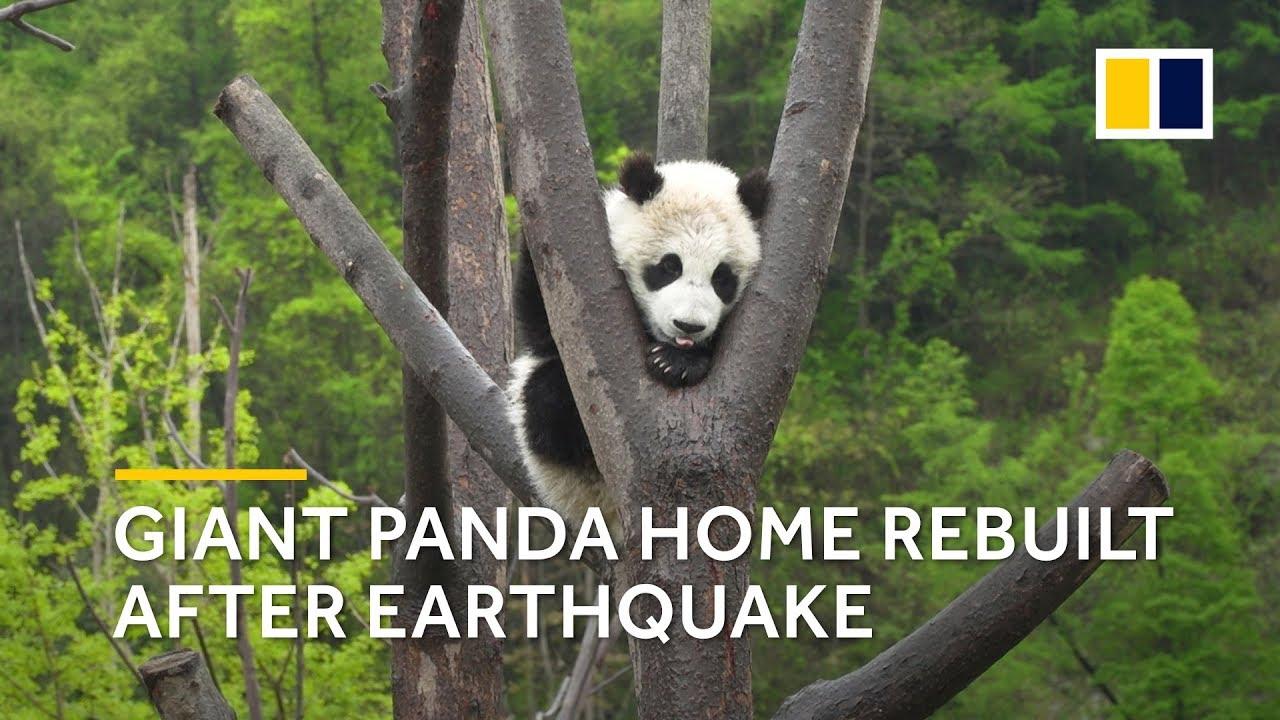 sichuan earthquake 2008 panda home rebuilt after earthquake [ 1280 x 720 Pixel ]